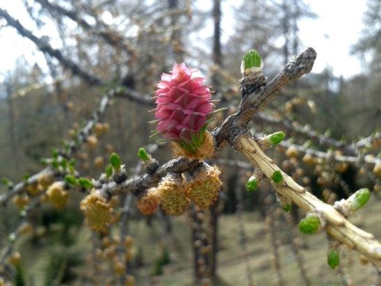 Lauferei - Lärchenblüte