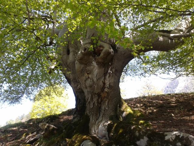 Lauferei - mein Buchen-Baumgeist oberhalb von Malans